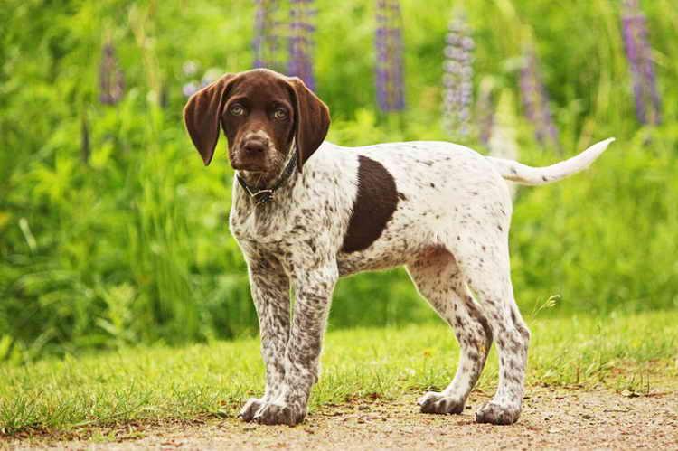 пойнтер порода собак описание
