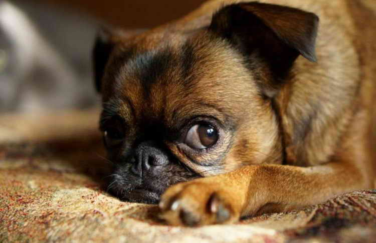 порода собак пти брабансон