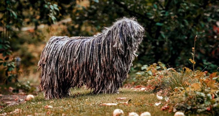 Характеристики породы собак пули