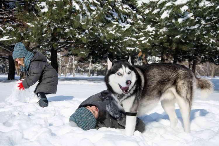 сахалинский хаски фото