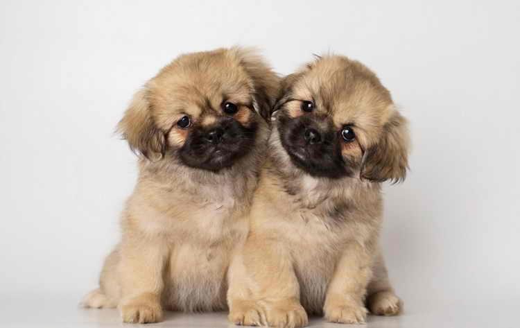 тибетский спаниель щенки