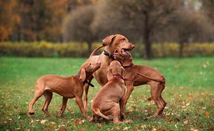венгерская выжла щенок