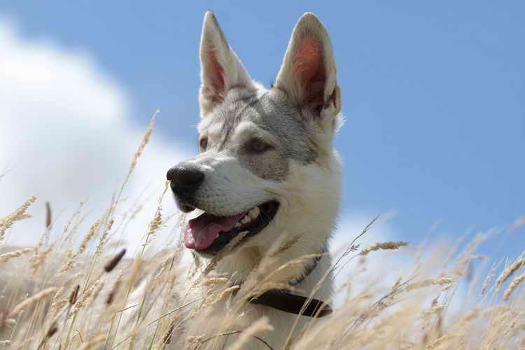 волчья собака сарлоса уход