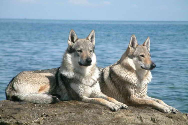 волчья собака сарлоса фото щенков