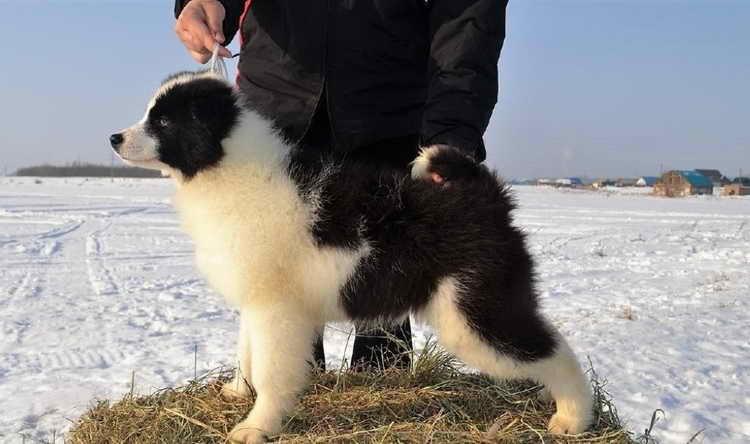 якутская лайка цена