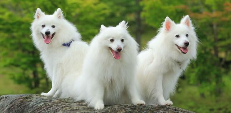 Уход за собаками японский шпиц