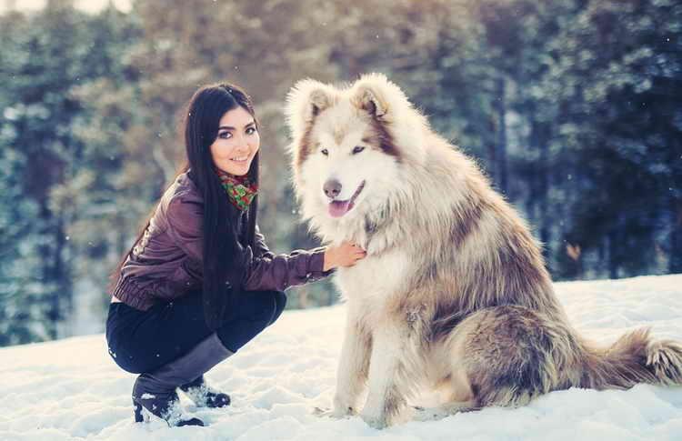 порода собак аляскинский маламут фото