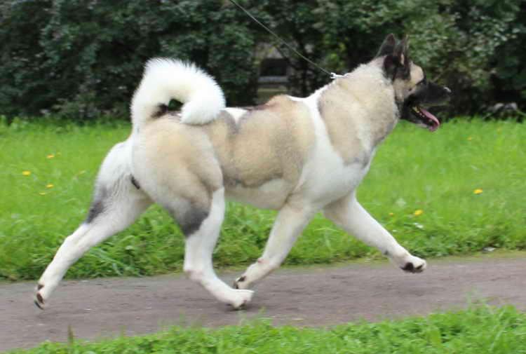 американская акита фото взрослой собаки