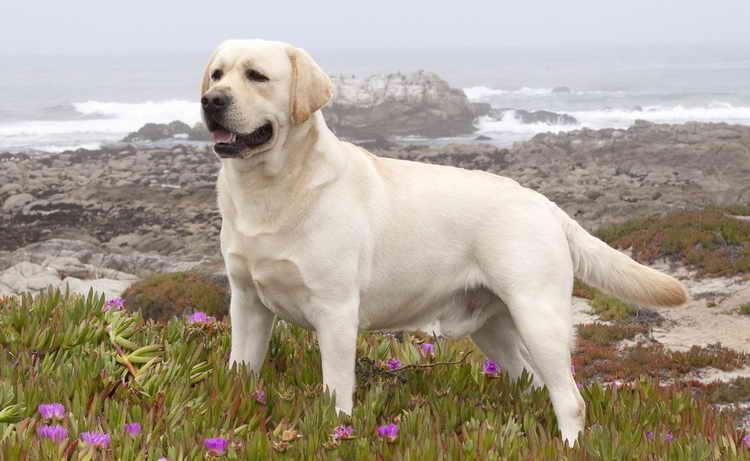 лабрадор белый