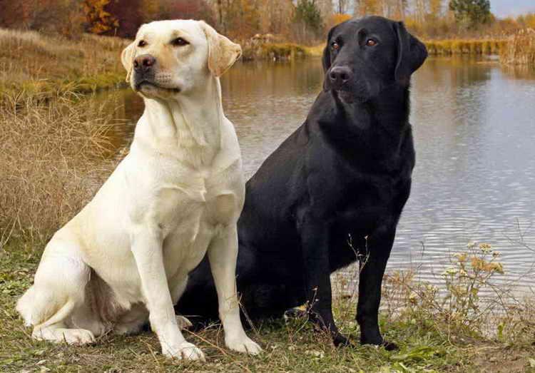 лабрадор фото собаки белый
