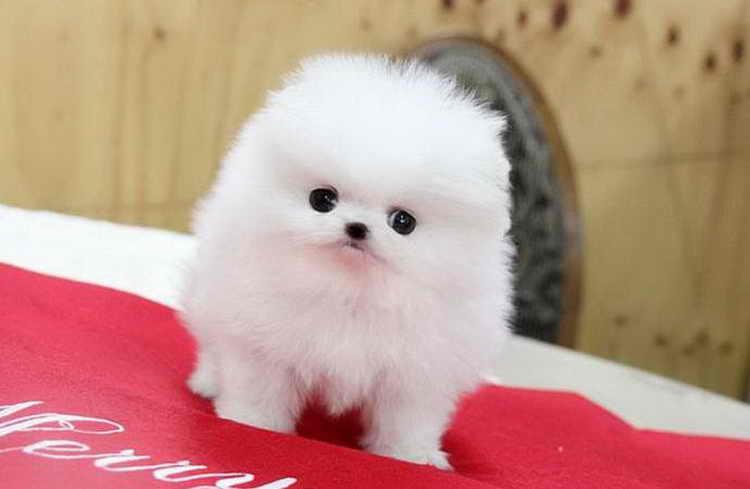 померанский шпиц белый щенок