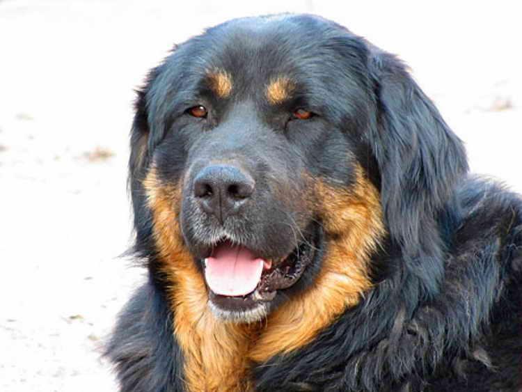 порода собак хотошо бурят монгольский волкодав