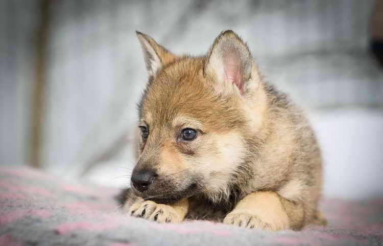 чехословацкая волчья собака цена