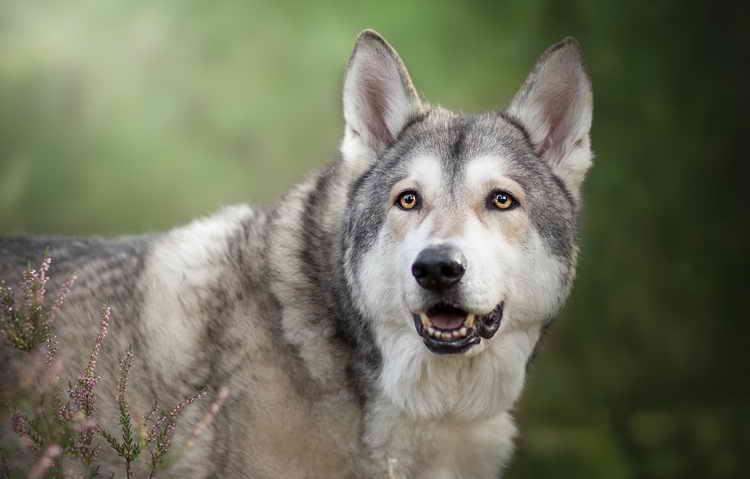порода чехословацкая волчья собака