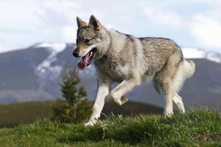 чехословацкая волчья собака фото