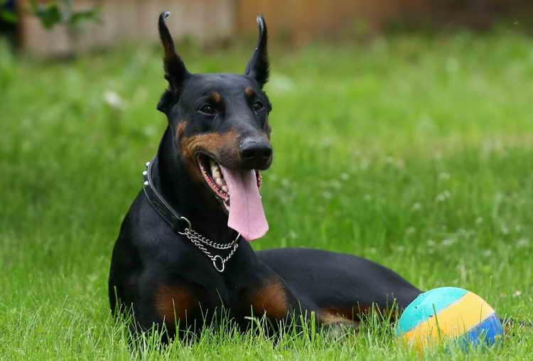 доберман черный щенок