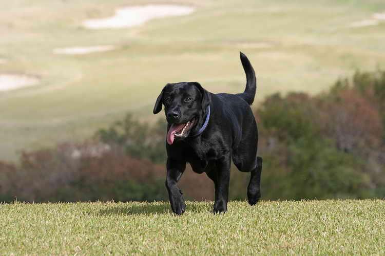 лабрадор щенок фото черный