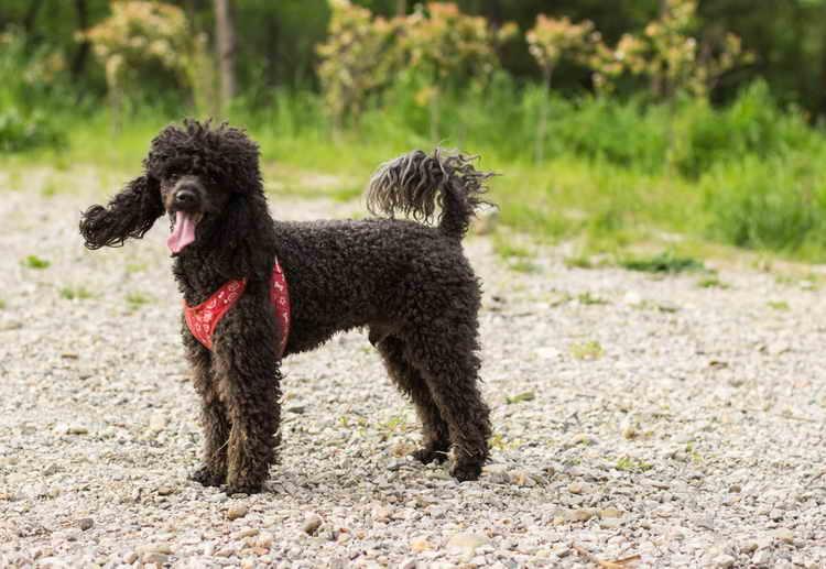 черный пудель щенок