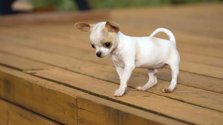 Care and maintenance of a chihuahua from a puppy to an adult