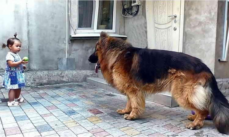 сколько стоит щенок длинношерстной немецкой овчарки