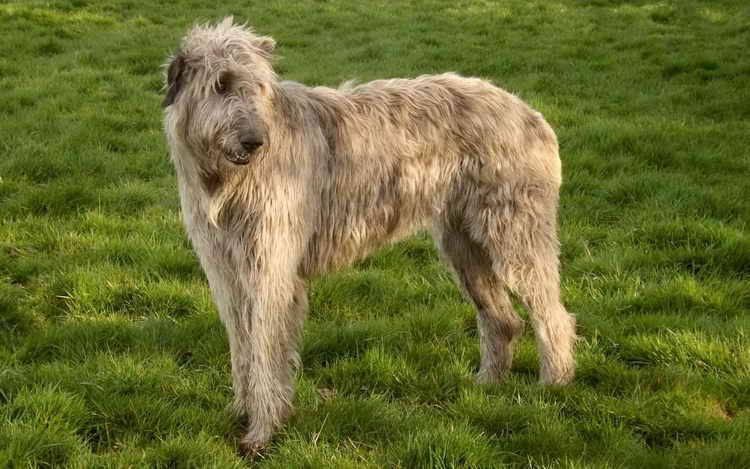 до какого возраста растут собаки крупных пород