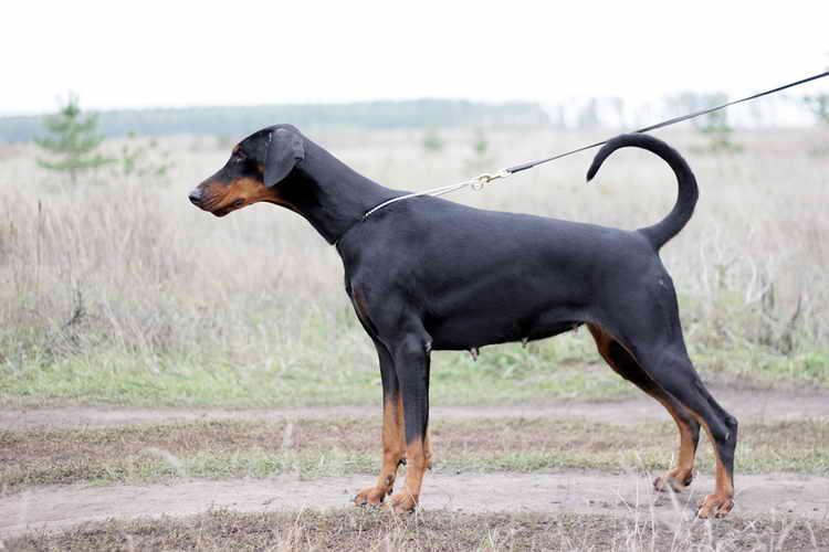 собака породы доберман цена