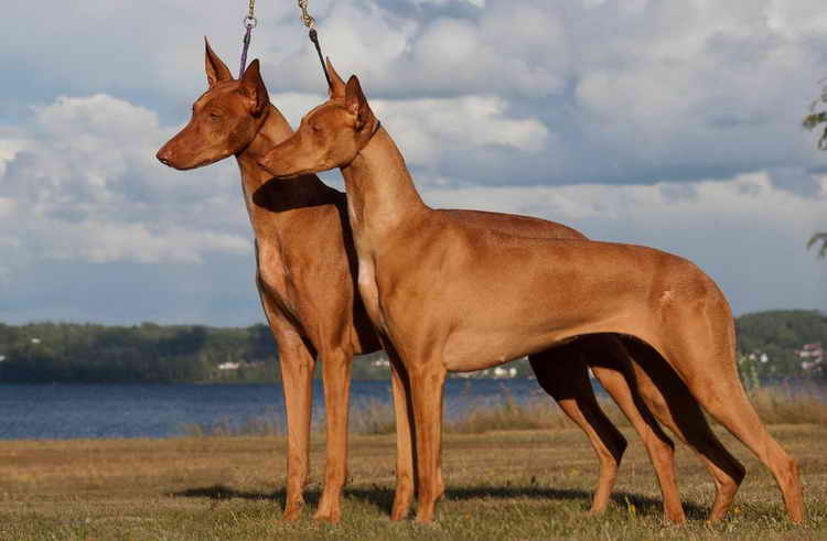 Pharaoh Hound and her characteristics with photo