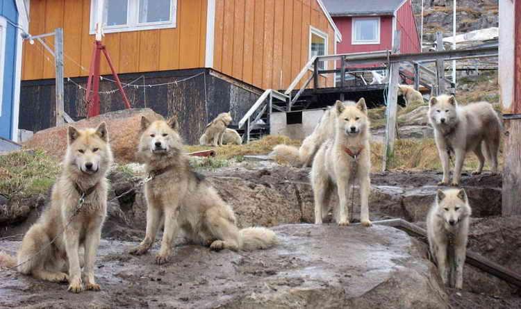 гренландская собака фото щенков