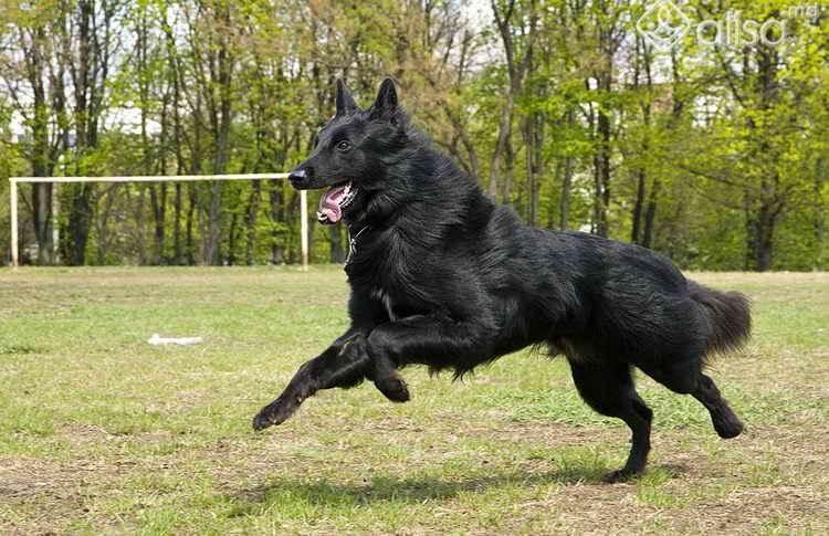 порода собак грюнендаль описание