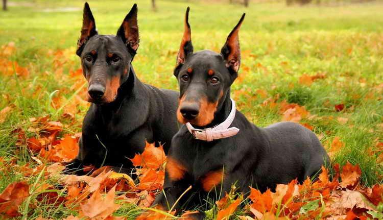 доберман порода собак характер