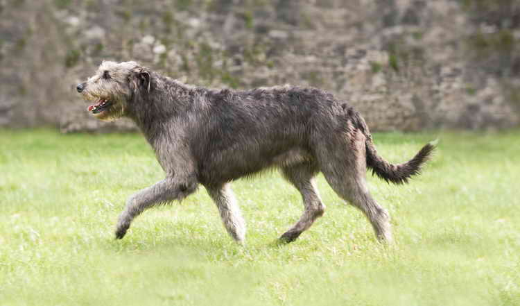 ирландский волкодав сколько живет