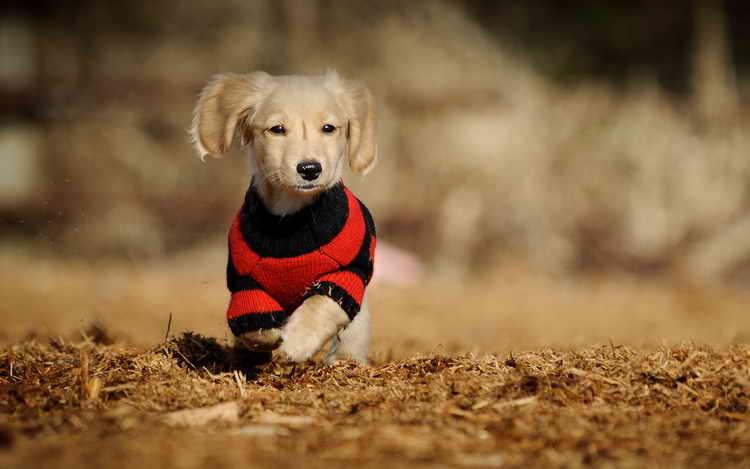 как сшить одежду для собак толстовка