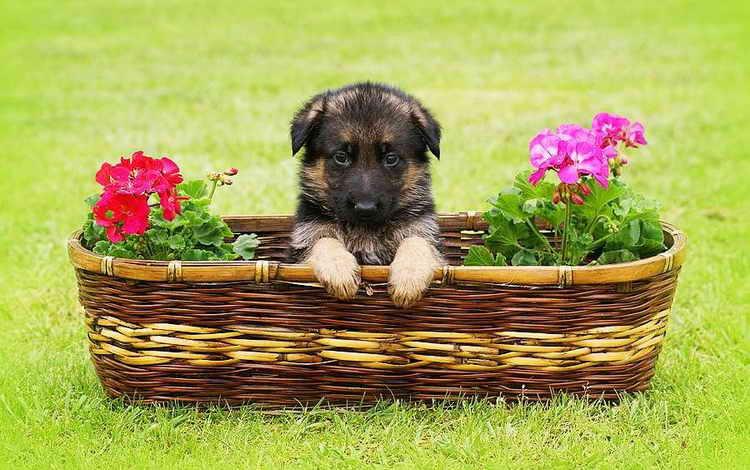 какой корм для щенков немецкой овчарки лучше