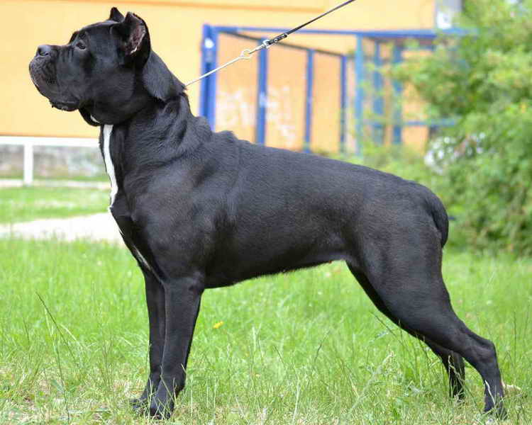 корсо собака характеристика