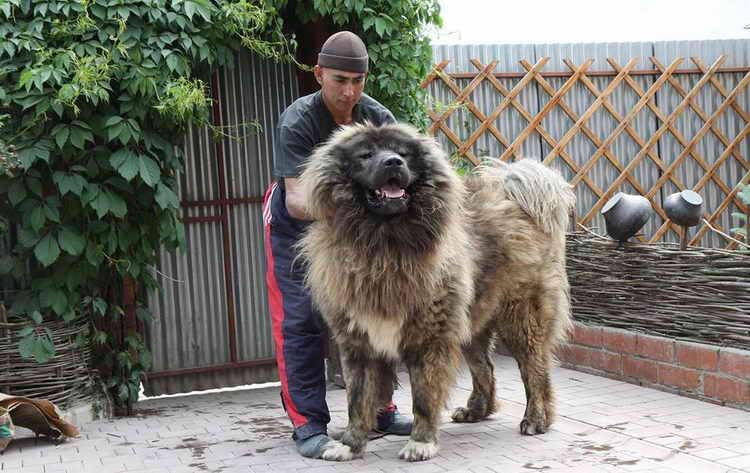 кавказская овчарка видео