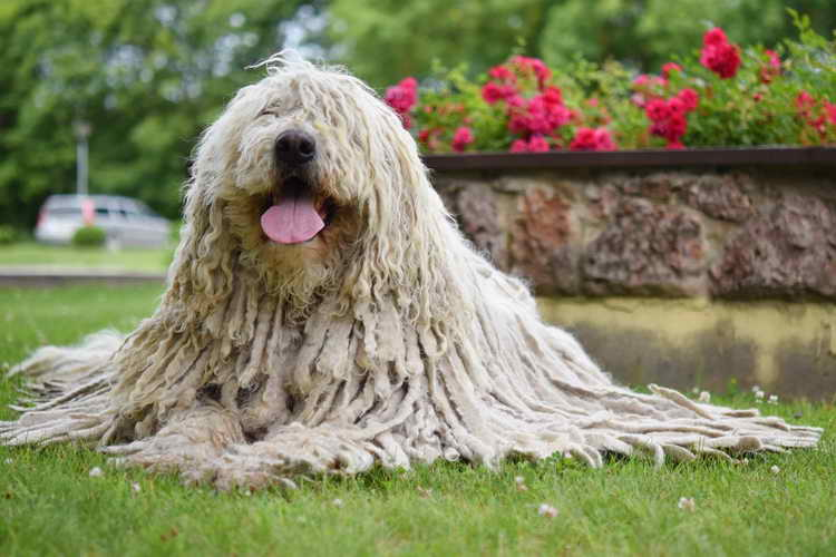 собака комондор щенки