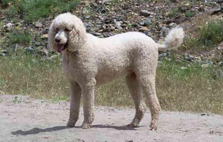 королевская порода собак пуделей