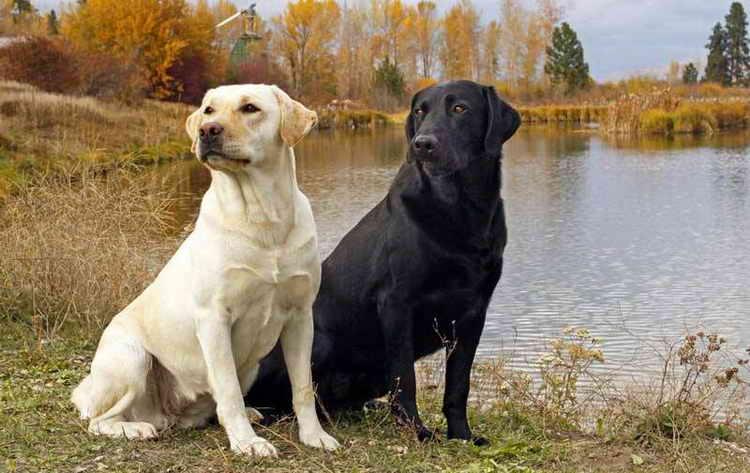 собака лабрадор описание породы характер