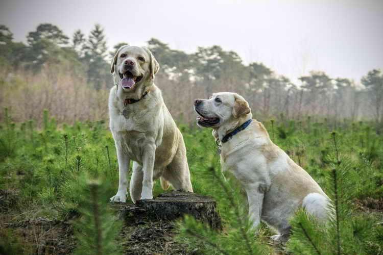 лабрадор собака описание характер минусы