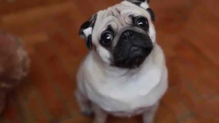 собаки маленьких пород мопс