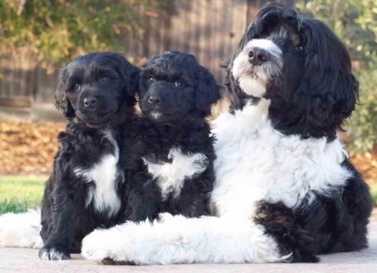 португальская водяная собака щенки