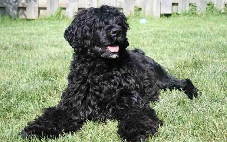 португальская водяная собака описание породы