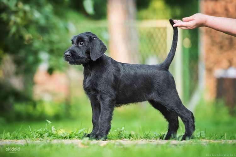 ризеншнауцер щенок