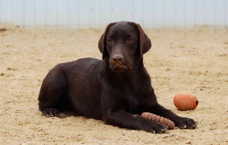 шоколадный лабрадор щенок