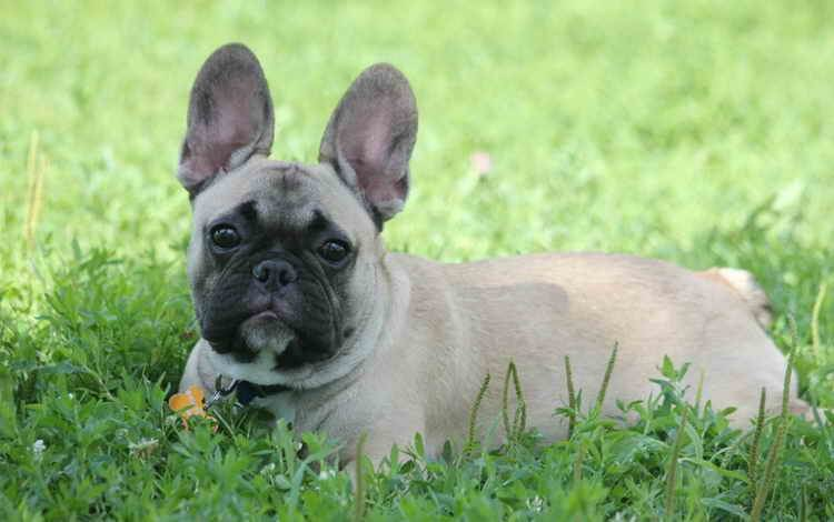 How much does a French bulldog cost and what does the price depend on