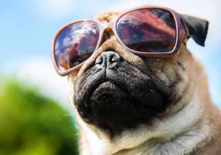 сколько стоит собака породы мопс