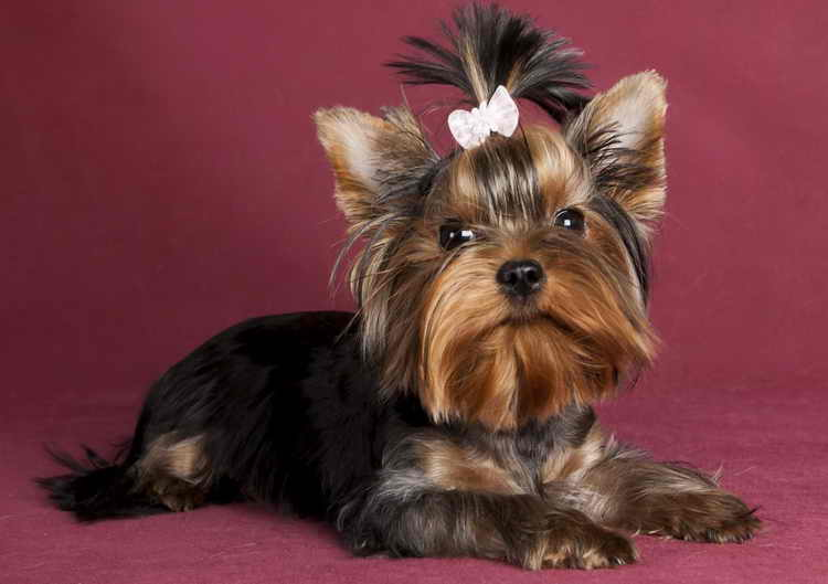 How much does a Yorkshire terrier cost and what does the price depend on