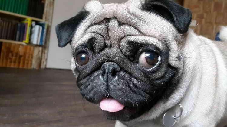 Combien de chiens carlin vivent
