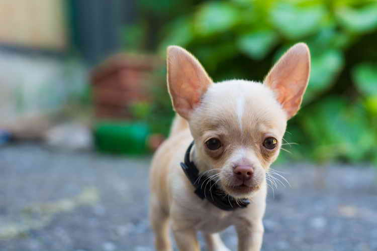 Combien de temps vivent les chiens chihuahua