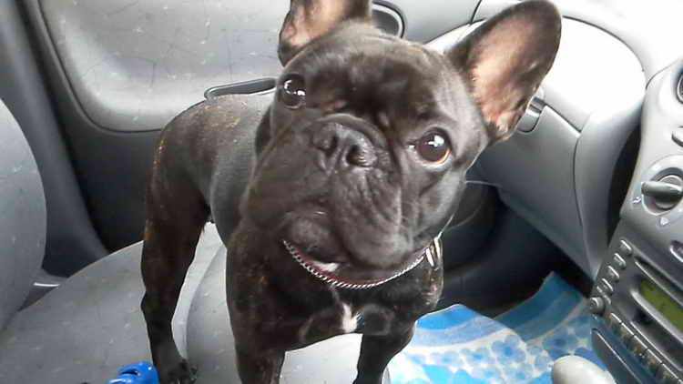 Combien de chiens vivants French Bulldog